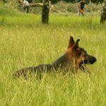 Kynologická organizace - pes v trávě